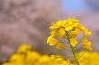 【栃木観光】真岡の一万本桜まつり