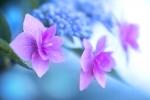 【栃木観光】磯山神社紫陽花まつり