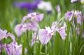 【栃木観光】あしかがフラワーパーク 菖蒲と紫陽花